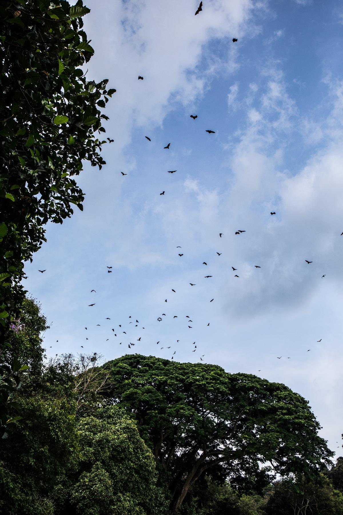 Bats Flying in the Royal Botanical Gardens (Peradeniya Park), Kandy, Sri Lanka. Photographed by Shika Finnemore - thebellephant.com