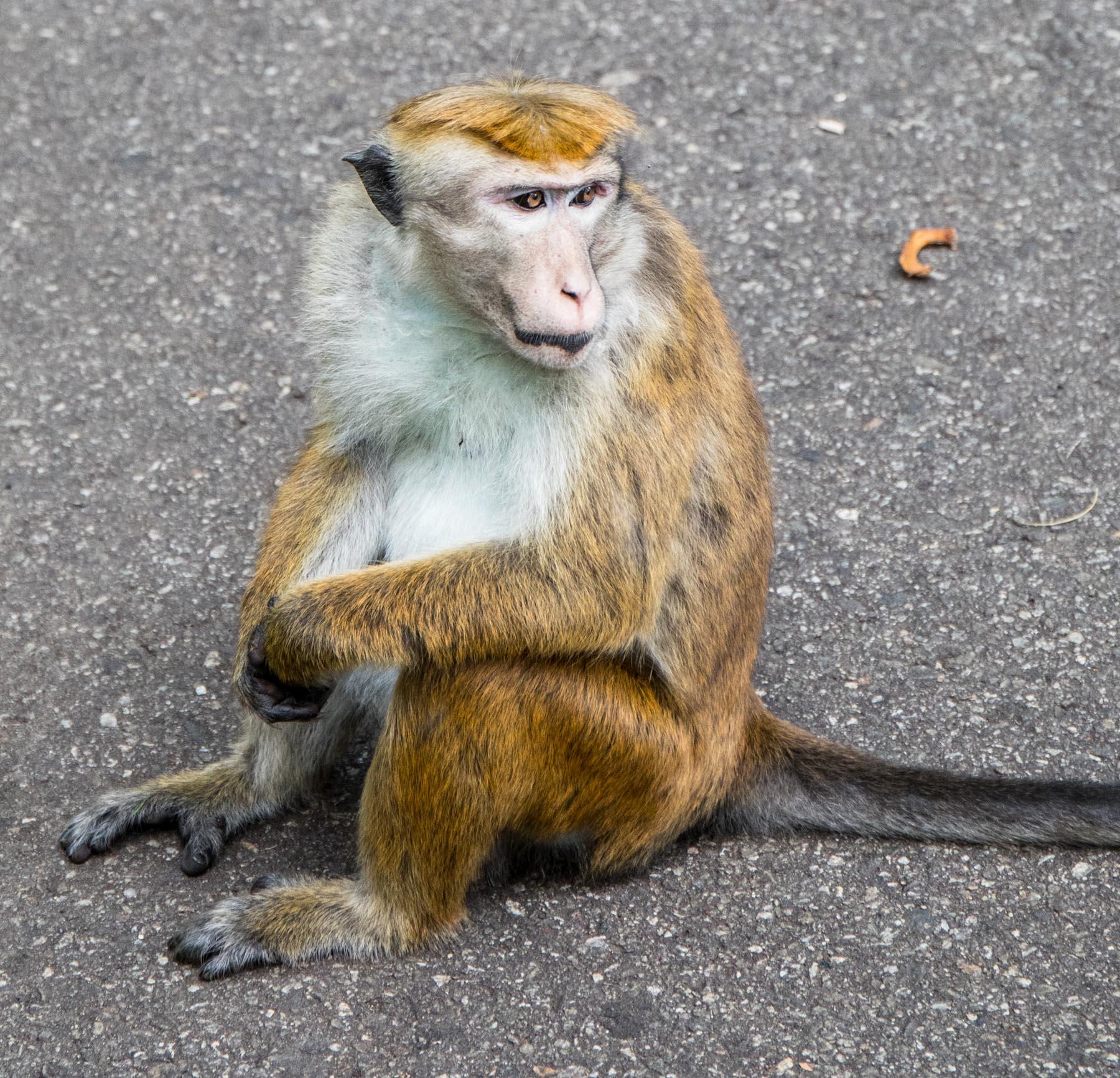 Monkeys in the Royal Botanical Gardens (Peradeniya Park), Kandy, Sri Lanka. Photographed by Shika Finnemore - thebellephant.com